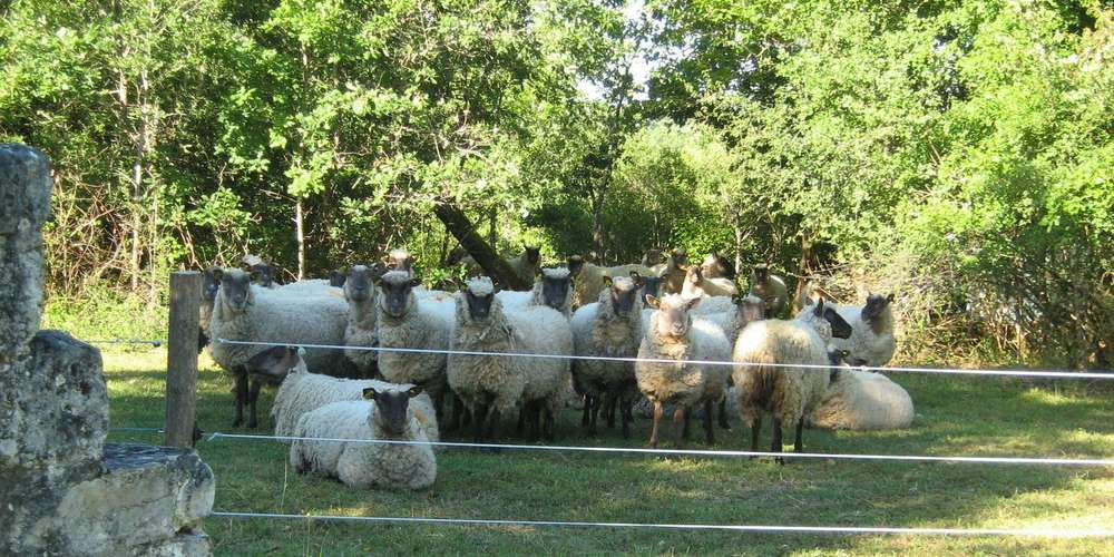Des moutons pour restaurer les pelouses calcicoles