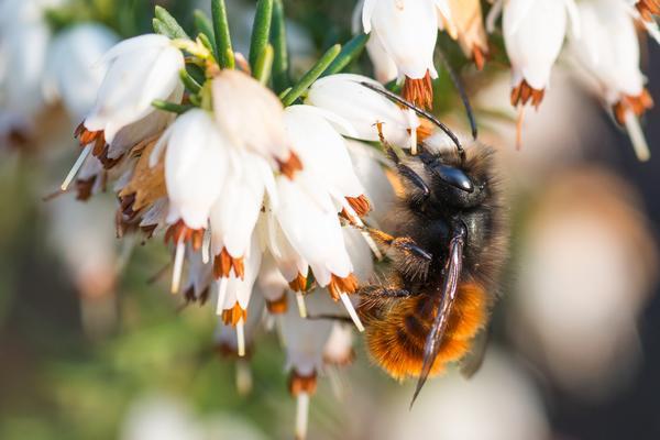 26 mai – Les pollinisateurs sauvages du plateau d'Argentine